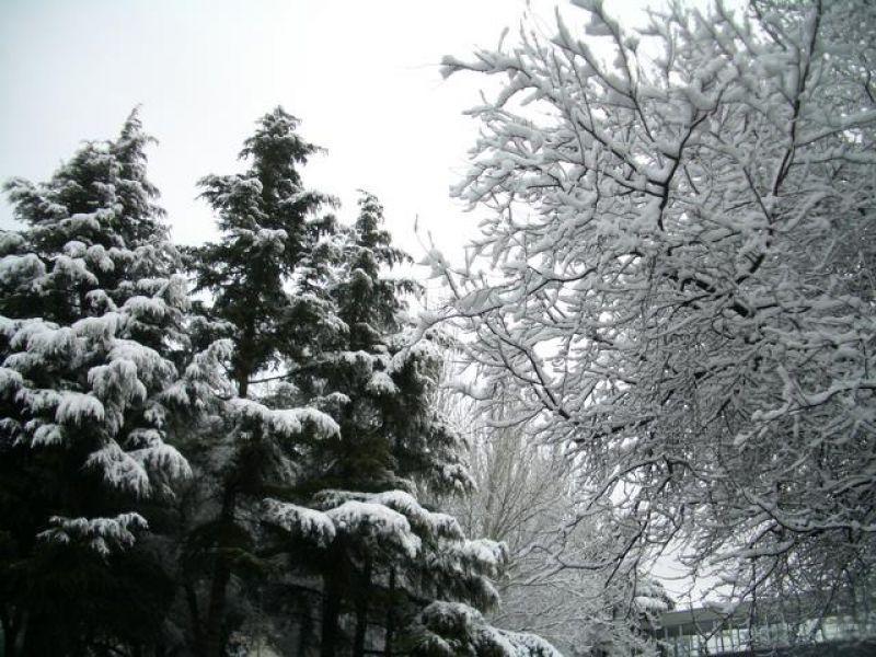 Abetos nevados en la Escuela de Teleco de la UPM. Madrid con nieve