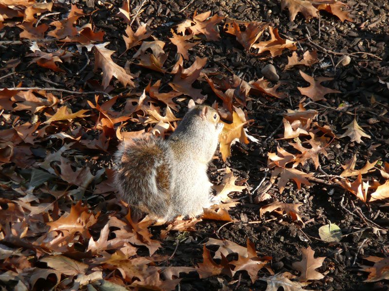 Ardilla en Central Park. Nueva York (USA)